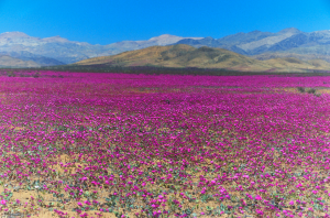 rare-desert-flowering-in-Atacama-desert-chile